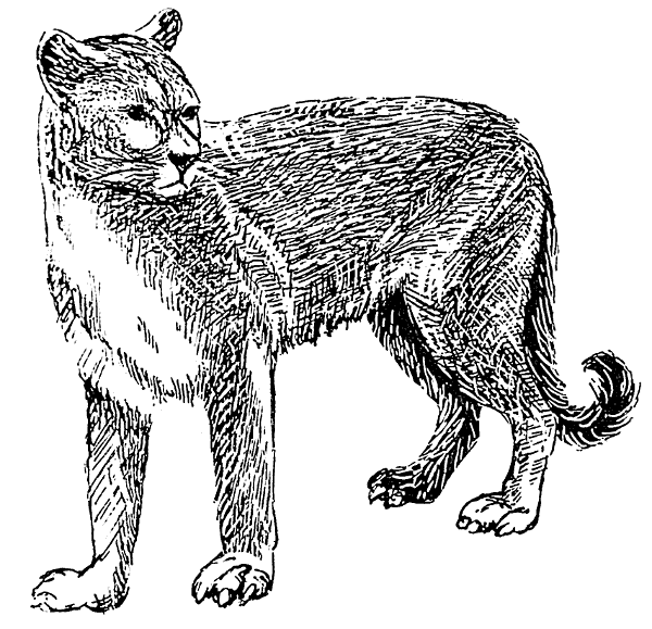 Free Cougar Clipart
