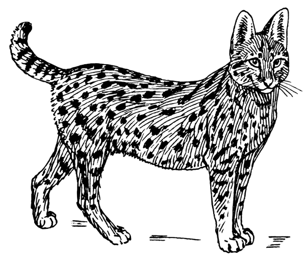 Free Serval Coloring Pages Clipart