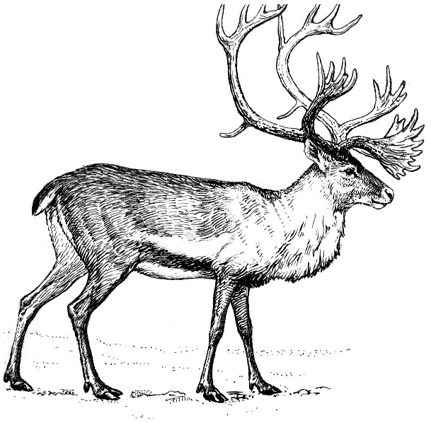 Free Caribou Clipart
