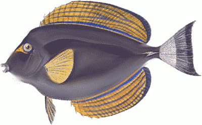 Free Acanthurus Clipart