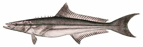 Free Cobia Clipart