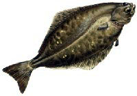 Free Halibut Clipart