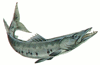 Free Barracuda Clipart