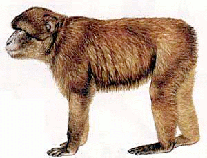 Free Barbary Ape Clipart