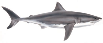 Free Great White Shark Clipart