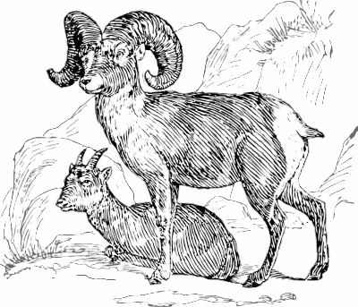 Free Bighorn Sheep Clipart