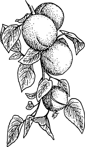 Free Apricot Clipart